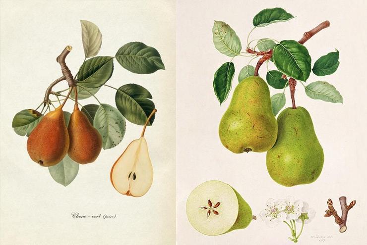 La storia della pera Un frutto dalle alterne vicende, coltivato in moltissime varietà